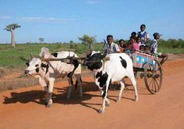 Zebu in carrozza 370x260 Madagascar
